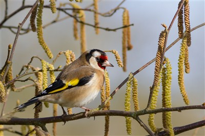 european-goldfinch-wallpaper-8